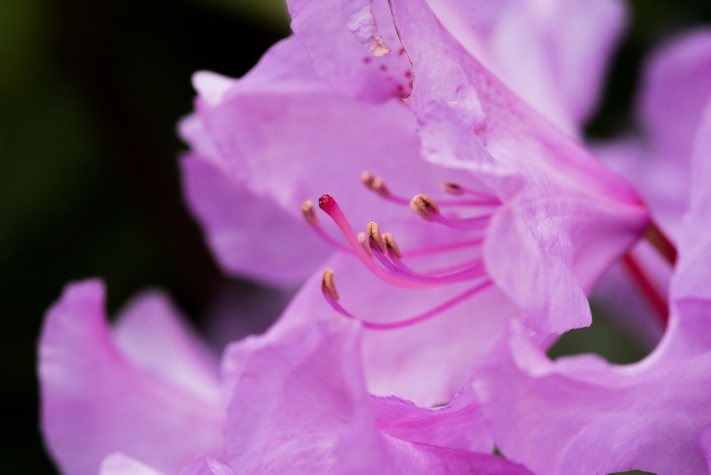 rhododendron_mai2015_gt